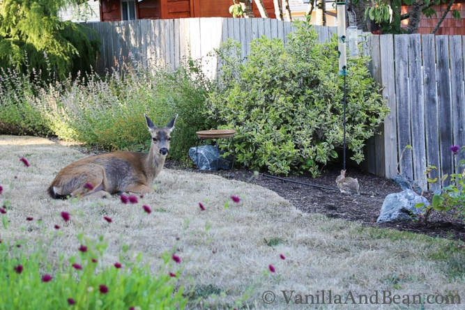 A doe and a rabbit in a backyard