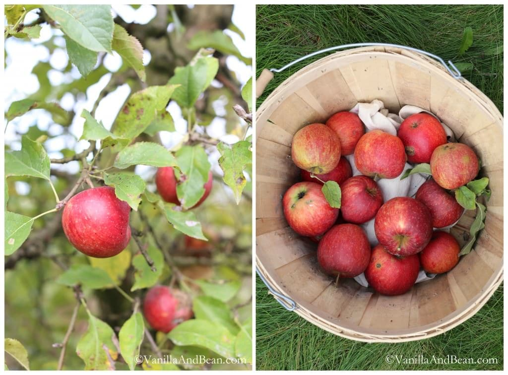 Apples in a tree and in a wooden pail.