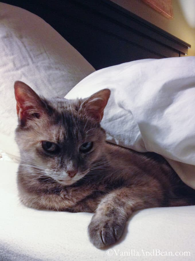 Claire Cat under the covers.