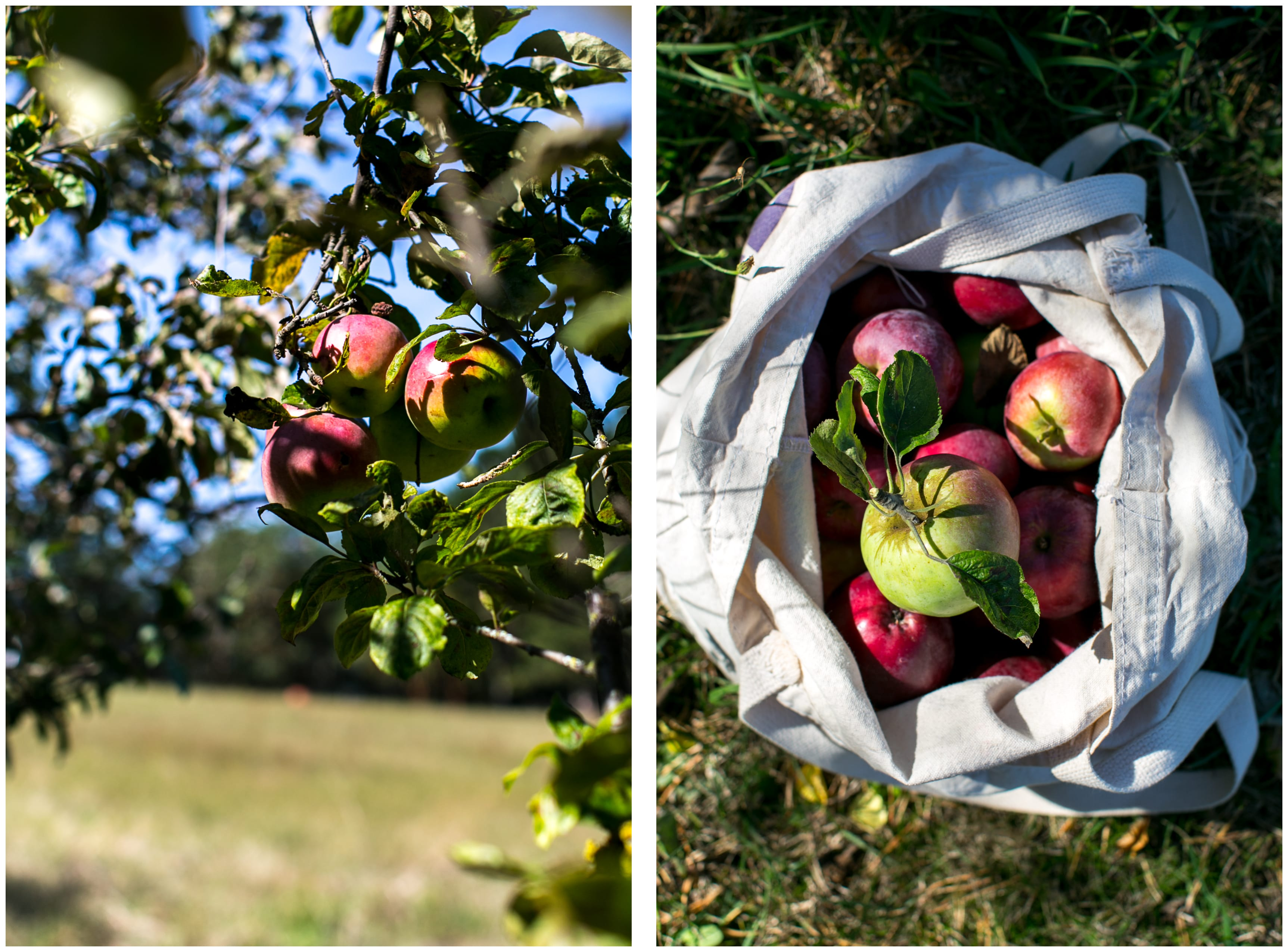 Apples on an apple tree and picked apples in a bag.